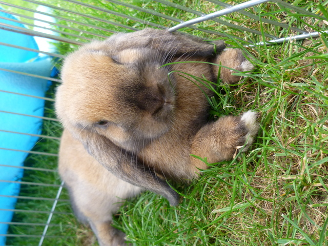 Choupette, rongeur Lapin