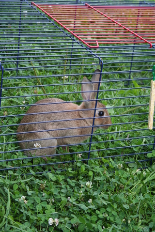 Providence, rongeur Lapin