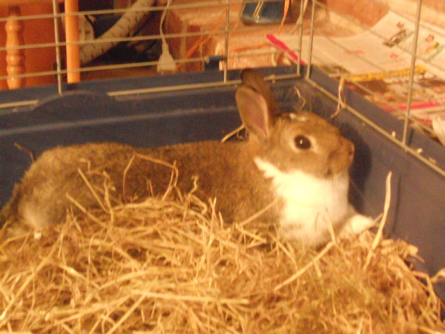 Cassidy, rongeur Lapin