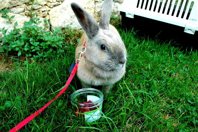 Edwige, rongeur Lapin