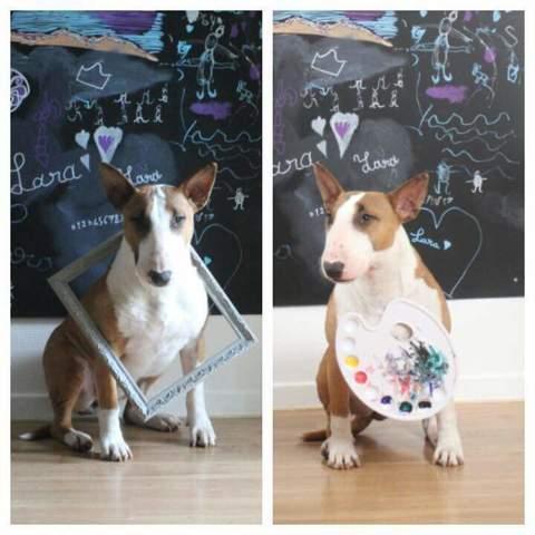 Lara, chien Bull Terrier