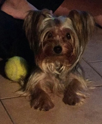 Laska, chien Yorkshire Terrier