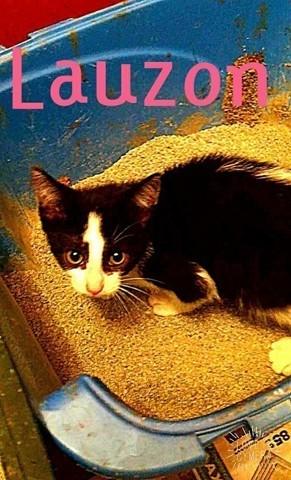 Lauzon, chaton Japanese Bobtail