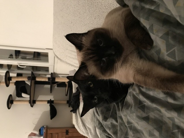 Laya, chat Siamois