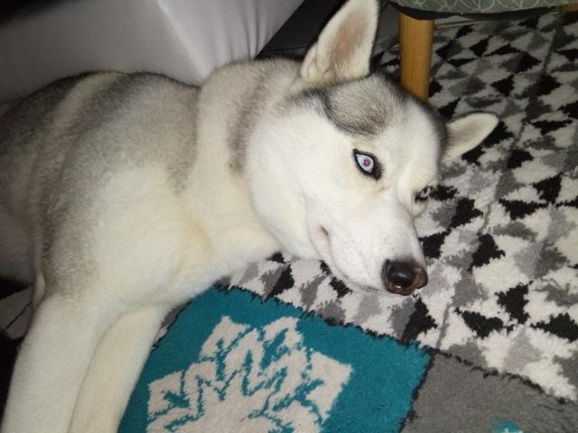Layka, chien Husky sibérien