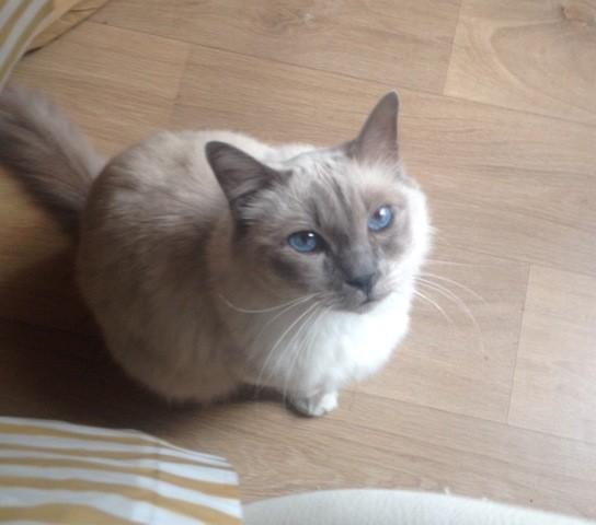 Le Petit, chat Birman