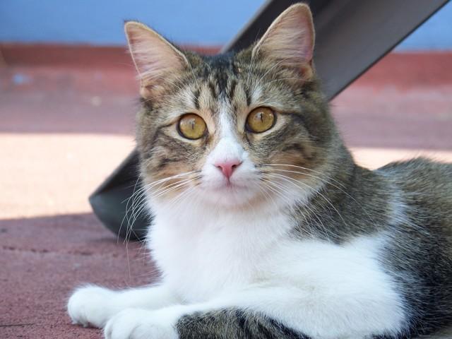 Léa, chat Européen