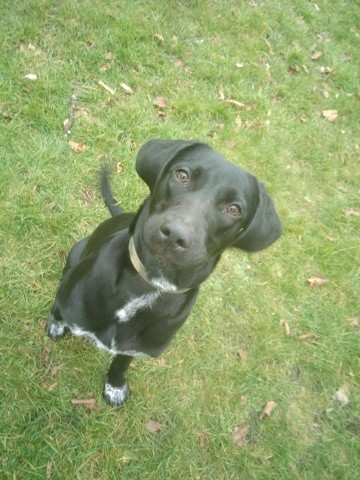 Leia, chien Braque de Weimar