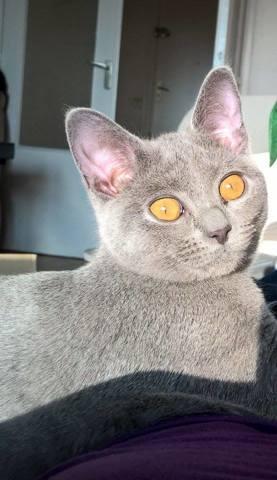 Léia Des Bois Ronds, chat Chartreux