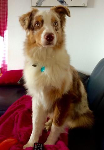 Lenka, chien Berger australien