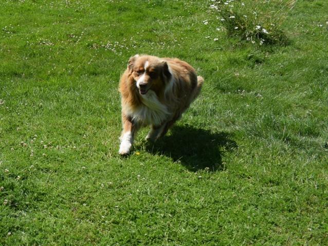 Leny D'Ankeol, chien Berger australien