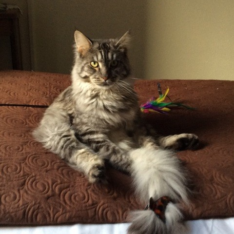 Leon, chat Maine Coon