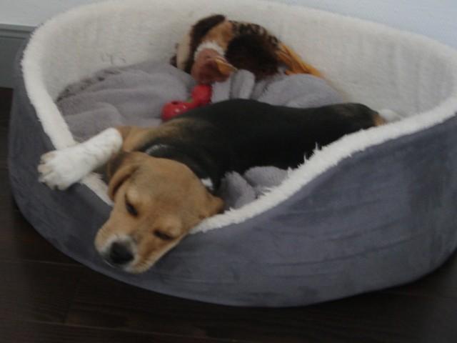 Levis, chien Beagle
