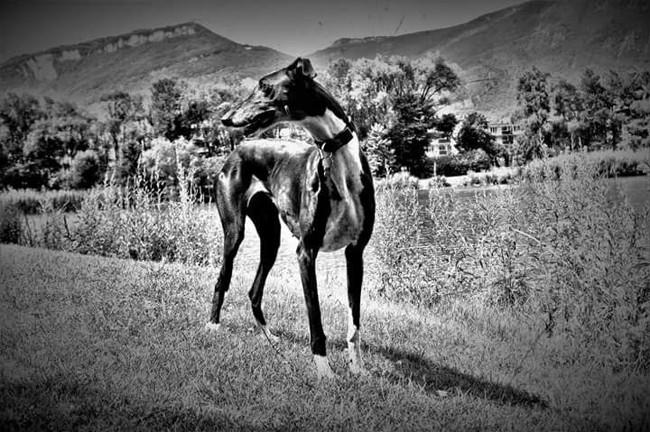 Angie, chien Lévrier espagnol