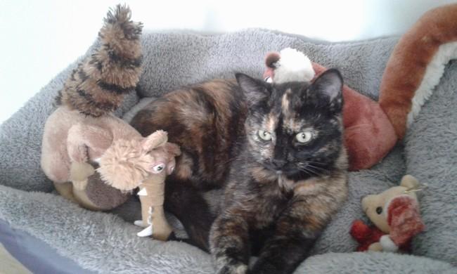 Lexie, chat Européen