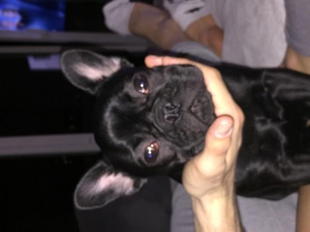 Lexy, chien Bouledogue français