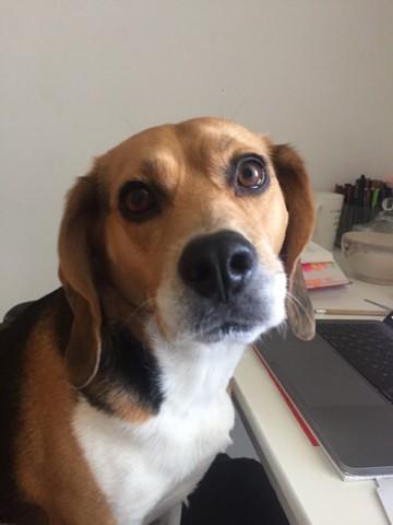 Lexy, Beagle