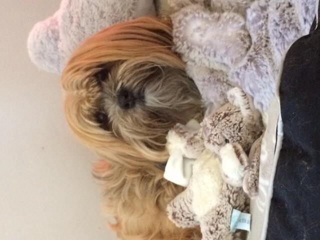 Olympe, chien Lhassa Apso