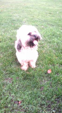 Horacio, chien Lhassa Apso