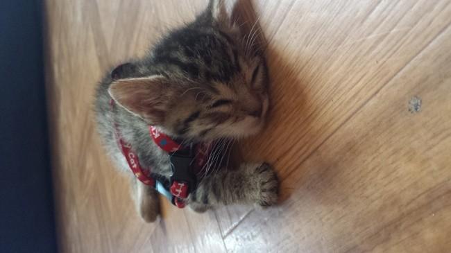 Lila, chaton