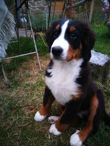 Lila, chien Bouledogue français
