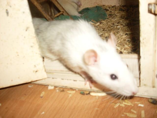 Lilith, Rat