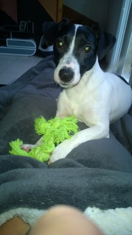 Liloo, chien Jack Russell Terrier
