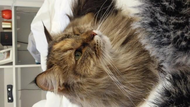 Lilou, chat Sibérien