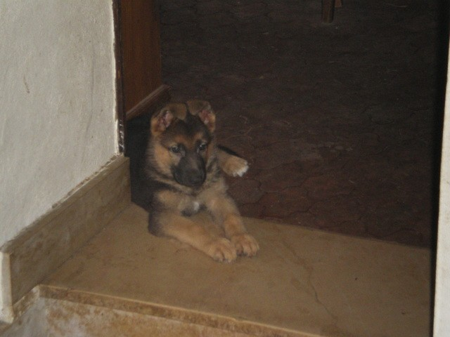 Lilou, chien Berger allemand