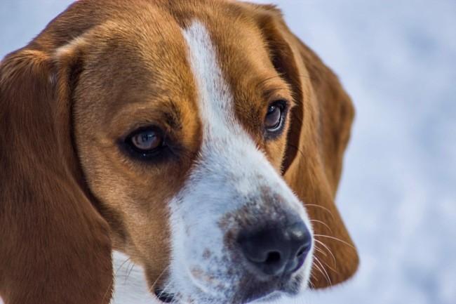 Lilou, chien Beagle