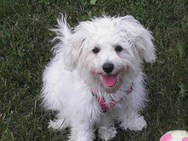 Lily, chien Bichon maltais