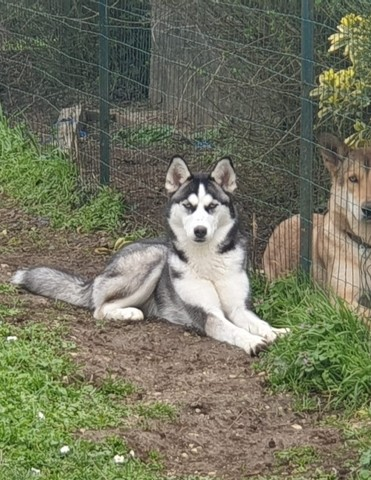 Liwanda, chien Husky sibérien