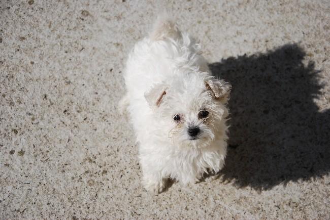 Liza, chien Bichon à poil frisé