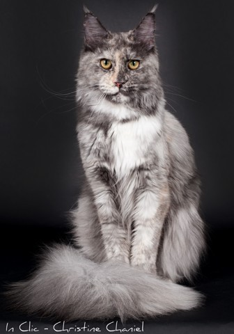 Liza, chat Maine Coon