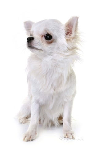 Lizzie, chiot Chihuahua