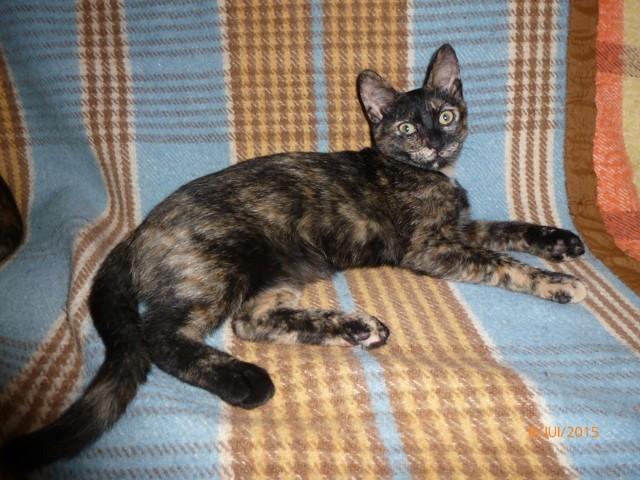 Lizzy, chat Européen