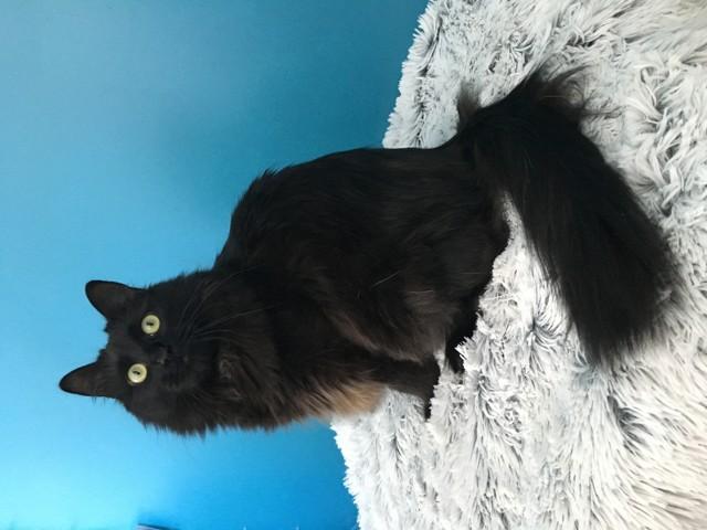 Loki, chat Sibérien