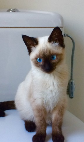 Lola, chaton Siamois