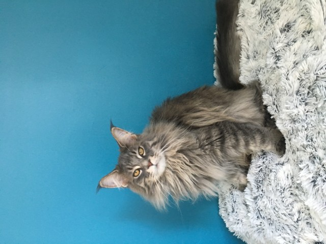 Loli, chat Maine Coon