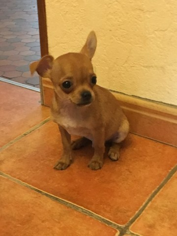 Looky, chiot Chihuahua
