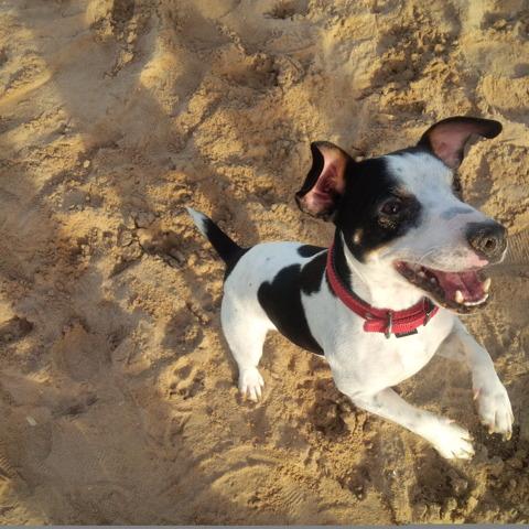 Looping, chien Jack Russell Terrier