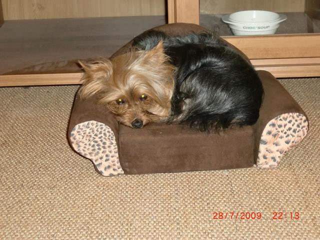 Looping, chien Yorkshire Terrier