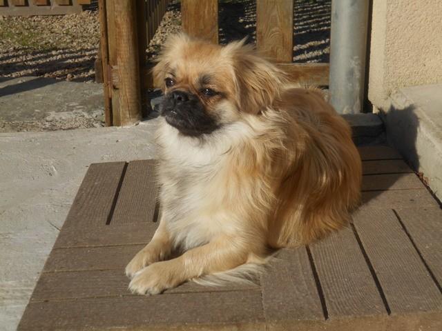 Lorelei, chien Épagneul tibétain