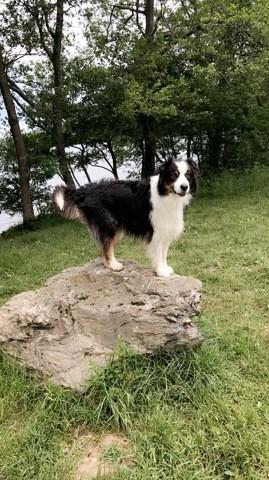 Lou, chien Berger australien