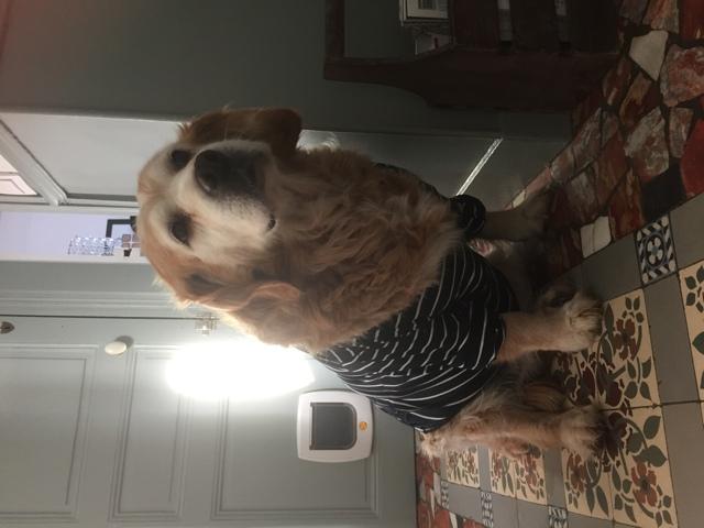 Louise, chien Golden Retriever