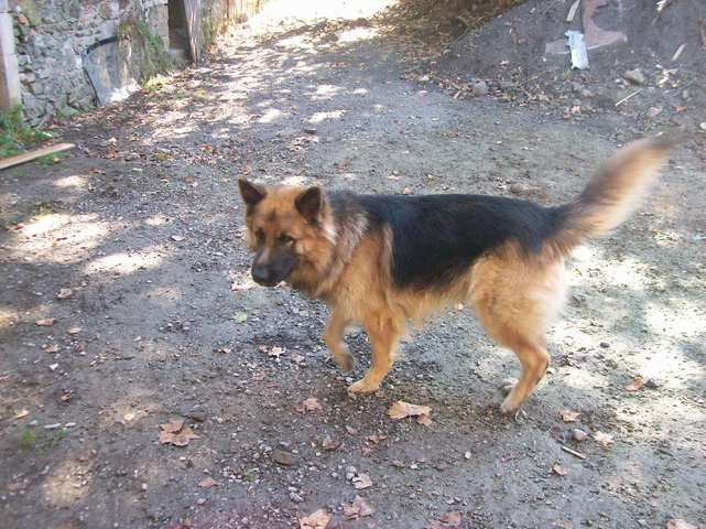 Loulou, chien Berger allemand