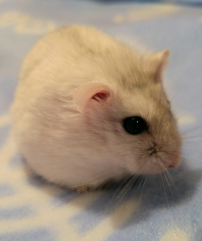 Loulou, rongeur Hamster