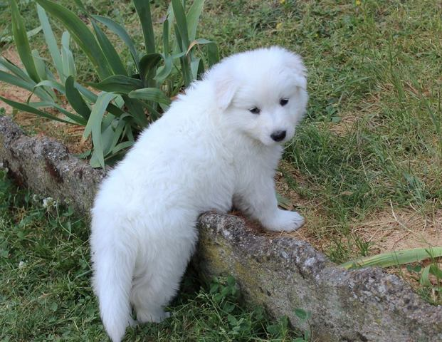 Louna, chien Berger blanc suisse