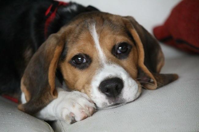 Louna, chien Beagle