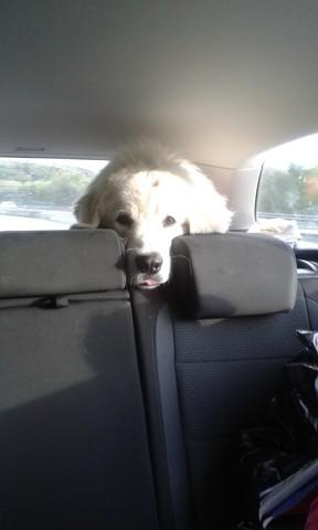 Loyd, chien Berger polonais de Podhale
